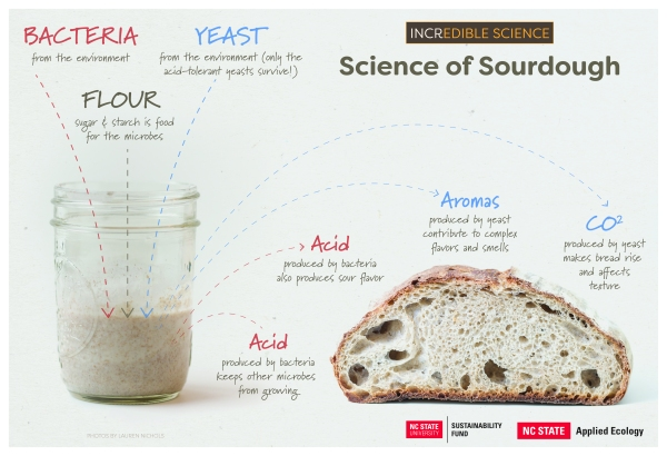 Science of Sourdough: Bacteria, flour and yeast combine to produce acid, CO2 and aromas when baked into bread.